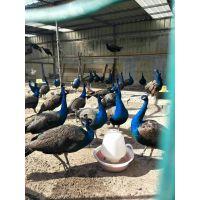 要买纯种的孔雀 孔雀苗到山东找仙农养殖场
