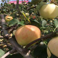 维纳斯苹果苗报价多少 维纳斯黄金苹果苗品种介绍