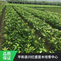 福建正宗红肉蜜柚种苗多少钱 三红蜜柚苗基地在哪里