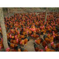 巫溪青脚红羽跑山鸡苗自生源常年供应质量品质保证包运输