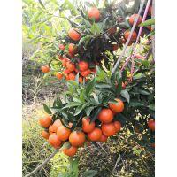 果树苗木 柑橘树苗 桔苗 红桔子树苗 新品种早桔-世纪红桔树苗