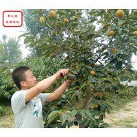 3cm柿子树_3cm柿子树价格