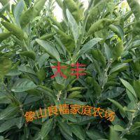大分柑橘树苗,特早熟蜜桔,浙江省认定品种