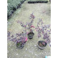 小灌木培育基地,红花继木小苗批量出售,20公分高红檵木装车价