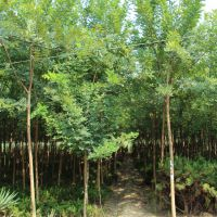 成都大量批发国槐,常作庭荫树和行道树以及工业园区种植