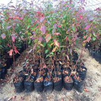 蓝莓种苗批发价格 批发蓝莓苗价格 价格优惠