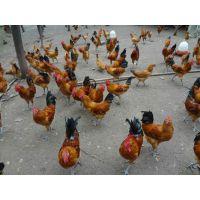 土鸡苗批发巴中土鸡品种巴中生态土鸡苗巴中土鸡养殖技术
