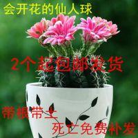 绯花玉会开花的仙人球植物多肉盆栽防辐射实生苗