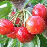 正一园艺场1.5米矮化樱桃苗 矮化樱桃苗货源地 1.8米樱桃树苗 樱桃树苗品种纯正