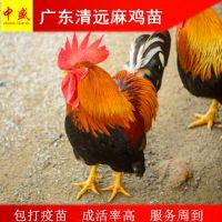 鸡孵化场销售广东清远麻鸡苗多少钱一只|正宗清远鸡苗价格活体包打疫苗高成活率