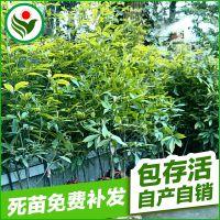 热销供应 黄金财富树种金丝楠木树苗 园林绿化苗木
