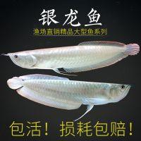 银龙鱼 热带观赏鱼 大型鱼龙鱼风水鱼水族鱼缸宠物龙鱼热带鱼活体
