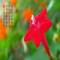 花草种子五角星花卉种子 攀岩茑萝花种子 20粒/包  植物种子