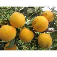 黄桃树苗批发价40公分5元