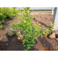 供应绿化苗木金叶女贞0.1m-0.6m 园林植物灌木金叶女贞苗