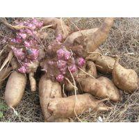 雪莲果种球 天山雪莲果种苗价格还原生态,净化身心,常素食,健康加智慧