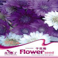 干花菊 种子银叶菊花 花干后不变质50粒一包多种菊花种子批发