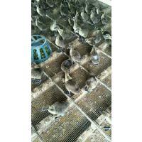 湖南郴州脱温鹅苗出售 汕头狮头鹅苗注意事项 鹅苗赚钱