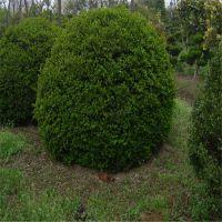 大叶黄杨球哪里便宜 1米2米规格山东大叶黄杨球价格