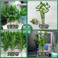 室内水培植物花卉观音竹 荷花竹 大叶竹子 弯竹 转运竹开运竹
