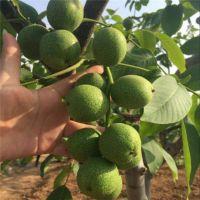 核桃苗 优质核桃树苗 种类齐全 基地苗圃直销 价格优惠