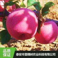 壹棵树 专业苹果树苗基地 苹果树种苗批发 品种纯正