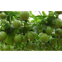 龙华绿植租摆-庭院盆栽鸡蛋果的种植方法,佳林园艺绿植租赁长期优惠中
