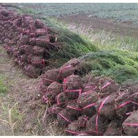优质1.8米高度刺松工程苗价格