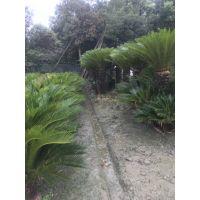 供应各种规格的铁树 铁树10-3米的都有哦 棕榈科植物都有