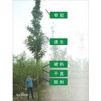 供应刺槐1-8公分,全国货源,速生性佳,种植效果好