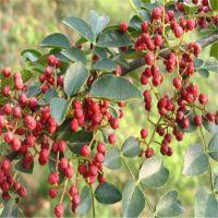 供应优质花椒苗大红袍花椒苗粗度0.7~2cm
