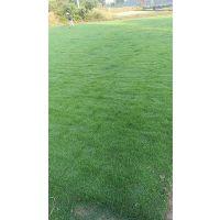 赣州草坪价格/草皮图片及规格