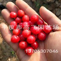 红妃樱桃 樱桃苗品种 樱桃苗种植技术