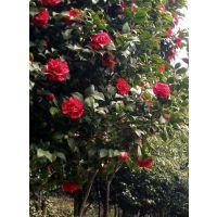 四川茶花笼子批发种植基地 茶花批发价格 各类笼子苗木