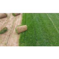 绿化草坪卷出售 求购四季常绿草皮 济南草坪