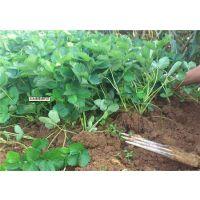山东泰安甜茶理草莓苗种植基地 甜茶理草莓苗种植技术