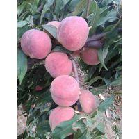 基地直销精品黄桃苗桃树苗新品种黄金黄桃苗黄中带红规格齐全优惠多多
