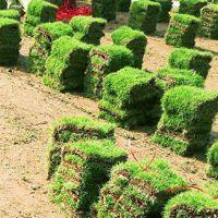 江西宜春 马尼拉草皮 绿化草坪品种批发价格 采购价格
