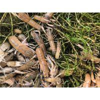澳洲淡水龙虾养殖加盟澳洲淡水小龙虾养殖技术无锡龙澳生态农业发展有限公司