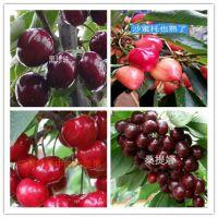 双7火龙果苗多少钱能买到、火龙果苗一亩地种植棵树