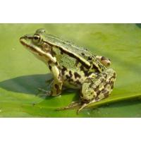 青蛙养殖的过程有哪些丨湖北天泽惠丰