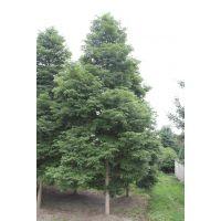 全冠熟货小叶桢楠,胸径12-15公分金丝楠木,成都楠木树是什么价
