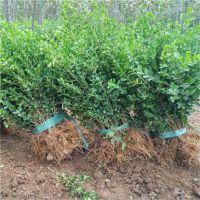 江苏瓜子黄杨小苗便宜了 20公分30公分40高瓜子黄杨小苗价格更便宜