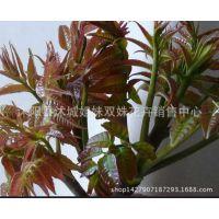 供应优质红油香椿种子 香椿树种子 保质保量
