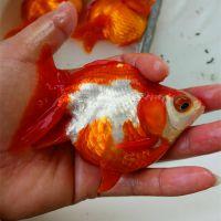 金鱼养殖场活体红白花鎏金 金鱼 河南金鱼 短尾鎏金高成活率金鱼