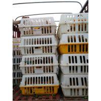 长寿哪里有香鸡苗供应 长寿香鸡苗养殖前景