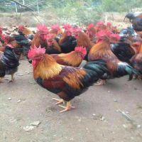 甘孜州德格县-小鸡苗多少钱一只-安徽鸡苗-河北鹅苗