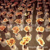 灵芝盆景盆栽活体 灵芝种子菌种菌包食用菌室内植物多肉灵芝盆栽