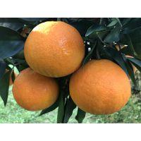 红美人柑橘苗 爱媛38号 常德优质柑橘苗无病毒脱毒苗