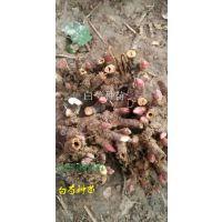 基地白芍种苗低价格出售 包回收